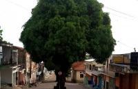 Salvem a mangueira da ladeira do mercado   Portal Obidense