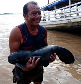 Em Óbidos mecânico salva filhote de peixe boi | Portal Obidense