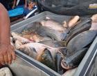 SEMAB realiza venda de pescado na feira do produtor rural de Óbidos | Portal Obidense