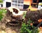 Mangueira centenária é retirada do centro comercial de Óbidos | Portal Obidense