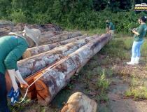 Semas divulga o balanço total da maior apreensão de madeira do ano   Portal Obidense