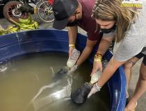 SEMA-Óbidos Transfere filhotes de peixe-boi para Manaus   Portal Obidense