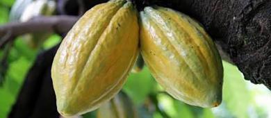 Mandioca e cacau paraenses são destaques no Levantamento de Produção Agrícola do IBGE | Portal Obidense