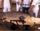 Pirarucu de 2,9 metros é capturado no Amazonas e chama atenção | Portal Obidense