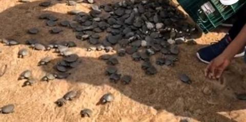 Ideflor-bio realiza soltura de 35 mil tartarugas por dia no Tabuleiro do Embaubal   Portal Obidense