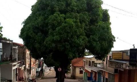 Salvem a mangueira da ladeira do mercado | Portal Obidense