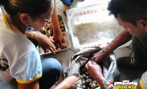 SEMMA de Óbidos realiza plantio de ovos de quelônios apreendidos em fiscalização.