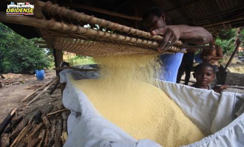 Agricultura familiar sustenta a produção de mandioca e a mesa do paraense