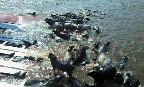 Navio com 5 mil cabeças de gado naufraga no porto de Vila do Conde no Pará