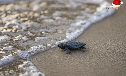 Tamar completa 40 anos na conservação de tartaruga marinha na costa brasileira | Portal Obidense