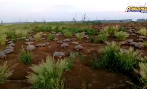 SEMMA de Curuá realiza trabalho de preservação e soltura de quelônios no município | Portal Obidense