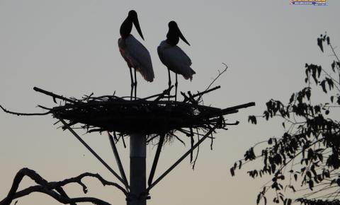 Ninho artificial substitui ninho queimado e é adotado por antigos inquilinos, o casal de Tuiuiús da BR-262 | Portal Obidense