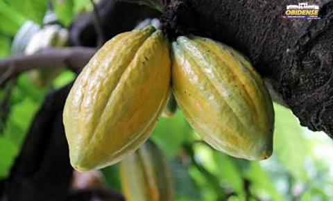 Mandioca e cacau paraenses são destaques no Levantamento de Produção Agrícola do IBGE   Portal Obidense