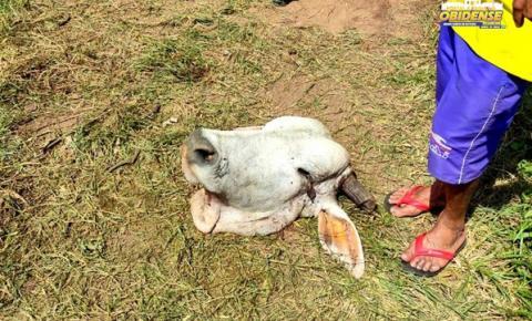 Furto de gado, três pessoas acusadas de receptação   Portal Obidense