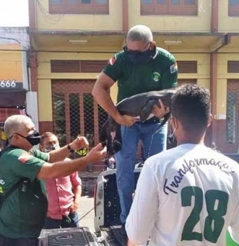 Filhote de peixe-boi é resgatado em Oriximiná-Pará   Portal Obidense